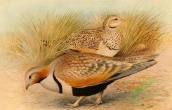 birds_full_color-00228 - Imperial Sandgrouse, pterocles orientalis