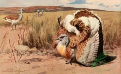 birds_full_color-00233 - Great Bustard