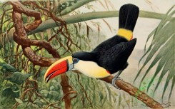 birds_full_color-00241 - Red-billed toucan