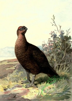 birds_full_color-00245 - GROUSE