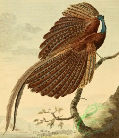 birds_full_color-00251 - Argus Pheasant, phasianus argus