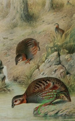 birds_full_color-00264 - Rufous-necked Hill Partridge