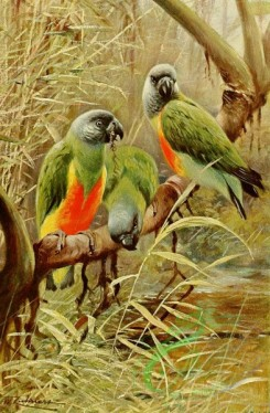 birds_full_color-00431 - Senegal Parrot
