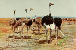 birds_full_color-00432 - Somali Ostrich