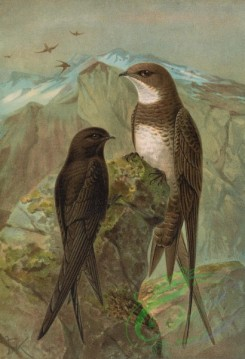 birds_full_color-00435 - Common Swift, Alpine Swift