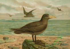 birds_full_color-00441 - Antarctic or Hall's Giant-Petrel