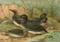 birds_full_color-00446 - Black-Throated Loon, Western Ice Loon, Red-Throated Loon