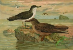 birds_full_color-00453 - Manx Shearwater