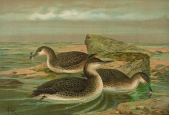 birds_full_color-00458 - Red-Throated Loon, Western Ice Loon, Black-Throated Loon