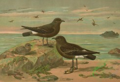 birds_full_color-00459 - Stormy Petrel