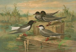 birds_full_color-00484 - White-Winged Black Tern, Small Marsh Tern, Black Tern