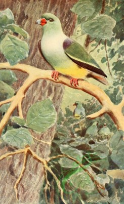 birds_full_color-00510 - African Green-Pigeon