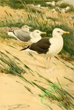 birds_full_color-00511 - Audouin's gull, 1