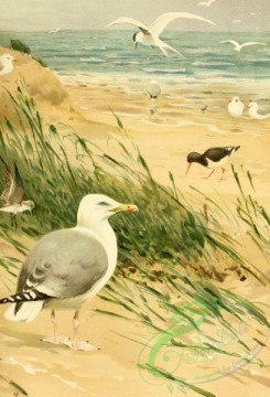 birds_full_color-00512 - Audouin's gull, 2