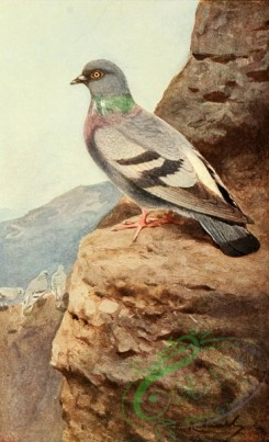 birds_full_color-00518 - Rock Dove