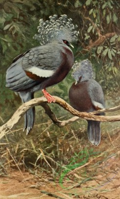 birds_full_color-00519 - Victoria Crowned-pigeon
