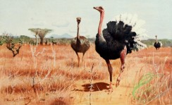 birds_full_color-00527 - African Ostrich