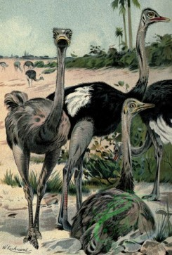 birds_full_color-00529 - Ostrich