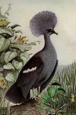 birds_full_color-00538 - GREAT CROWNED PIGEON