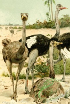birds_full_color-00540 - Ostrich