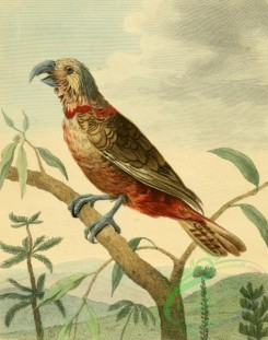 birds_full_color-00548 - Southern Brown Parrot, psittacus australis