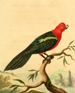 birds_full_color-00549 - Tabuan Parrot, psittacus tabuarus