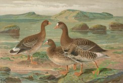 birds_full_color-00734 - Greater White-Fronted Goose