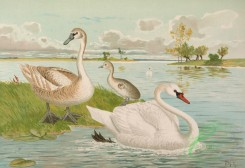 birds_full_color-00737 - Mute Swan