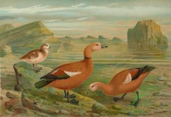 birds_full_color-00738 - Ruddy Shelduck