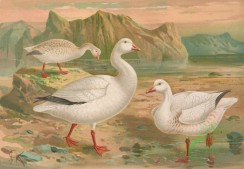 birds_full_color-00739 - Snowgoose