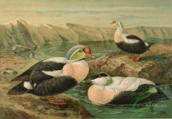 birds_full_color-00743 - King Eider, Common Eider
