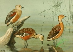 birds_full_color-00753 - Lesser Whistling Teal, Wandering Tree Duck, Fulvous Tree Duck
