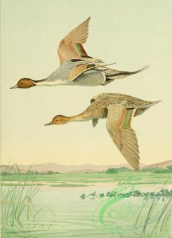 birds_full_color-00759 - PINTAIL DUCK