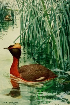 birds_full_color-00766 - HORNED GREBE