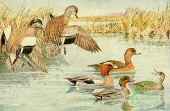 birds_full_color-00774 - American Widgeon, European Widgeon, Green-winged Teal, mareca americana, mareca penelope, nettion carolinense