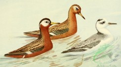 birds_full_color-00784 - Red Phalarope, phalaropus fulicarius