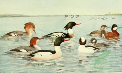 birds_full_color-00785 - Red-breasted Merganser, American Merganser, Ruddy Duck, Buffle-headed Duck, mergus serrator, mergus americanus, erismatura jamaicensis, charitonella albeola