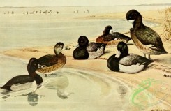 birds_full_color-00788 - Ring-necked Duck, Lesser Scaup, Scaup, aythya collaris, aythya affinis, aythya marila