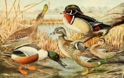 birds_full_color-00789 - Shoveler, Wood Duck, Blue-winged Teal, spatula clypeata, querquedula discors