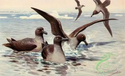 birds_full_color-00792 - Albatross