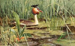 birds_full_color-00797 - Great Crested Grebe