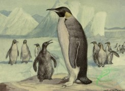 birds_full_color-00803 - Emperor Penguin