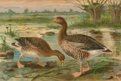 birds_full_color-00825 - Graylag Goose, anser anser