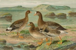 birds_full_color-00826 - Greater White-fronted Goose, anser albifrons