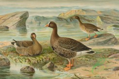 birds_full_color-00827 - Lesser White-fronted Goose, anser erythropus