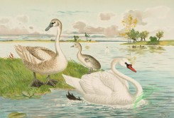 birds_full_color-00828 - Mute Swan, cygnus olor