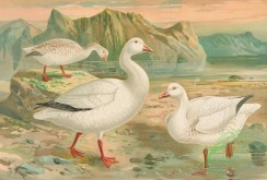 birds_full_color-00829 - Snow Goose, chen hyperboreus