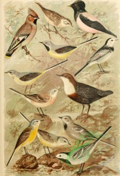 birds_full_color-01011 - 004-Bohemian Waxwing, Rosy Starling, White-throated Dipper (Southern European), White Wagtail, White-browed Wagtail, Grey Wagtail, Western Yellow Wagtail, Meadow Pipit