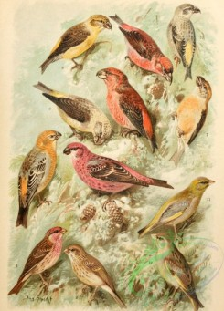 birds_full_color-01015 - 009-Common Rosefinch, Pine Grosbeak, Parrot Crossbill, Red Crossbill, European Greenfinch