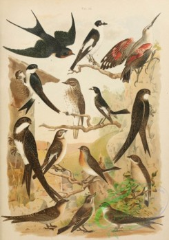 birds_full_color-01017 - 011-Eurasian Nuthatch, Spotted Flycatcher, European Pied Flycatcher, Collared Flycatcher, European White-tailed Flycatcher, Barn Swallow, House Martin, Mountain Crag Martin, Bank Swallow, Common Swift, Alpine Swift
